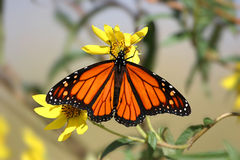 Monarch Butterfly (danaus plexippus) in spring. Monarch Butterfly (danaus plexippus) on yellow flowers in spring royalty free stock photos