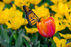 Monarch Butterfly, Danaus Plexippus, Sub F. Danainae Size 2 1/2 by 4` in length. A beautiful Monarch butterfly in full colors of yellow, black and orange Royalty Free Stock Images