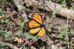 Monarch Butterfly. The monarch butterfly (Danaus plexippus). Taken in the the Capulin sanctuary of the Mariposa Monarca Biosphere Reserve in Mexico. The stock photography