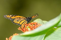 Monarch Butterfly Danaus plexippus. Taken in Costa Rica royalty free stock photography