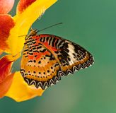 Monarch butterfly Danaus plexippus on thunbergia mysorensis. Monarch butterfly Danaus plexippus on thunbergia mysorensis, close-up stock image