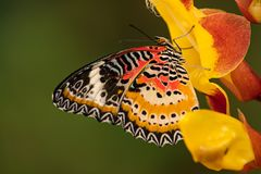 Monarch butterfly Danaus plexippus on thunbergia mysorensis. Monarch butterfly Danaus plexippus on thunbergia mysorensis, close-up stock photography