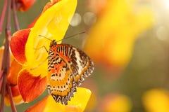 Monarch butterfly Danaus plexippus on thunbergia mysorensis. Monarch butterfly Danaus plexippus on thunbergia mysorensis, close-up royalty free stock photo