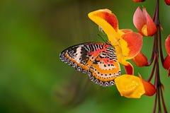 Monarch butterfly Danaus plexippus on thunbergia mysorensis. Monarch butterfly Danaus plexippus on thunbergia mysorensis, close-up stock photos