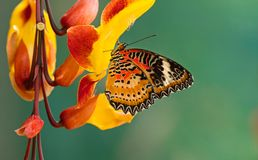 Monarch butterfly Danaus plexippus on thunbergia mysorensis. Monarch butterfly Danaus plexippus on thunbergia mysorensis, close-up stock photo