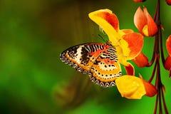 Monarch butterfly Danaus plexippus on thunbergia mysorensis. Monarch butterfly Danaus plexippus on thunbergia mysorensis, close-up royalty free stock photos