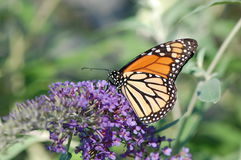 Monarch Butterfly. A monarch butterfly, Danaus plexippus, viewed from the side as it gathers nectar from flowers royalty free stock image