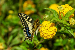 Monarch Butterfly Danaus plexippus Royalty Free Stock Image