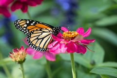 Monarch Butterfly Danaus plexippuson pink flower. Close up of an orange black and white Monarch Butterfly feeding on pollen from a bright pink garden Zinnia Stock Photography