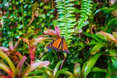 Monarch butterfly, Danaus plexxipus on an green fern. Monarch butterfly, Danaus plexxipus ,milkweed, common tiger, wanderer, and black veined brown, on an green stock photography