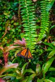 Monarch butterfly, Danaus plexxipus on an green fern. Monarch butterfly, Danaus plexxipus ,milkweed, common tiger, wanderer, and black veined brown, on an green stock image