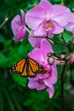 Monarch butterfly, Danaus plexxipus on an purple orchid royalty free stock photos