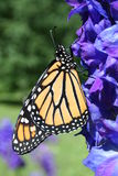 Monarch Butterfly on Delphinium Stock Photos