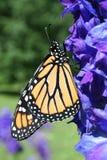 Monarch Butterfly on Delphinium. A vertical image of a monarch butterfly perched on a delphinium in a garden in Littlefork, MN Stock Photos