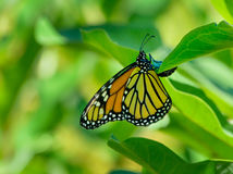 Monarch butterfly depositing and egg on milkweed leaf Royalty Free Stock Images