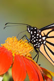 Monarch Butterfly Detail. An Extreme Close Up Of A Monarch Butterfly On A Red Flower, Danaus plexippus stock photo