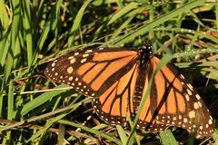 Monarch Butterfly in Dewy Grass. A monarch butterfly sunning itself in dewy grass Royalty Free Stock Photos