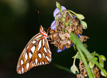 A monarch butterfly on a dried flower Stock Photos