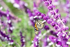 Monarch Butterfly drinking from Mexican Sage. Monarch butterfly drinking nectar from purple Mexican Sage flowers on a bright sunny day. The Monarch butterfly is stock photo