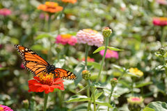 Monarch butterfly drinking nectar from zinnia flower Royalty Free Stock Photos