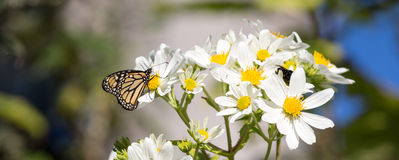 Monarch butterfly drinks daisy flower nectar Royalty Free Stock Image