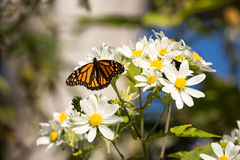 Monarch butterfly drinks daisy flower nectar Royalty Free Stock Images