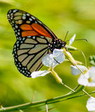 Monarch butterfly drinks flower nectar Stock Photos