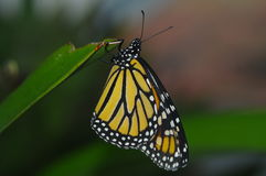 Monarch butterfly. Drying its wings after hatching Stock Photos