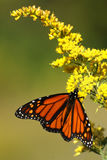 Monarch Butterfly. A monarch butterfly eating from some wild flowers royalty free stock photos