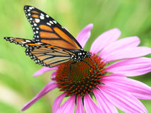 Monarch butterfly. Landing on a pink echinacea coneflower flower royalty free stock photography