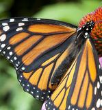 Monarch butterfly. Butterfly on echinacea coneflower zoom closeup stock images