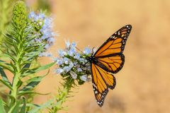Monarch butterfly on echium purple flower stock images