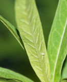 Monarch butterfly egg on milkweed leaf
