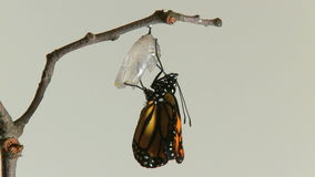 Monarch butterfly emerges chry stock video footage
