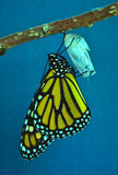 Monarch Butterfly Emerging From Chrysalis Stock Photography