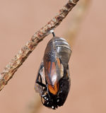 Monarch Butterfly Emerging from Chrysalis Royalty Free Stock Images