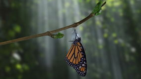 A monarch butterfly emerging from chrysalis in dramatic woods