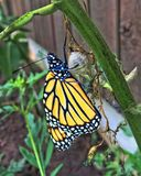 Monarch Butterfly Emerging from Chrysalis stock images