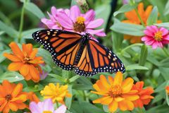 Monarch Butterfly Enjoying the Zinnias. Pretty Monarch butterfly feeding on orange and yellow zinnias stock photography