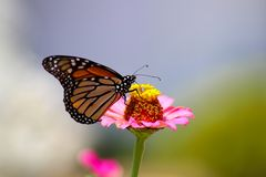 Monarch butterfly extracting nectar from a pink zinnia flower with a blue and green blurred background - selective focus stock images