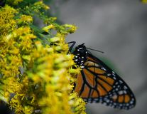 Monarch Butterfly Face Stock Image