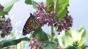 Monarch butterfly feed on milkweed