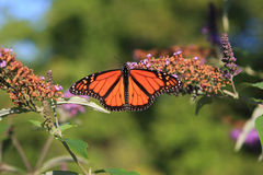 Monarch Butterfly Feeding. In Afternoon Sun Royalty Free Stock Image