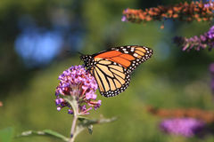 Monarch Butterfly Feeding. On Butterfly Bush Flower Royalty Free Stock Photography