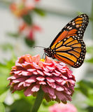 Monarch butterfly feeding royalty free stock photo