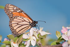 Monarch butterfly feeding on an apple blossom Stock Photo