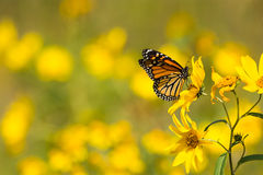 Monarch Butterfly. Feeding from Compass plants in a prairie in Wisconsin stock images
