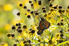 Monarch Butterfly. Feeding from Compass plants in a prairie in Wisconsin royalty free stock photo