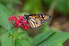 Monarch butterfly feeding. Monarch butterfly (Danaus plexippus) feeding on red pentas flower at San Antonio Botanical Garden Royalty Free Stock Photos