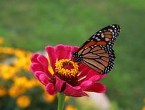 Monarch Butterfly Feeding on flowers. Monarch Butterfly drinking the nectar from a pink Zinnia flower on a warm sunny summer day stock photos